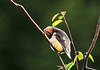 """<div class=""""jaDesc""""> <h4> Cedar Waxwing Grooming - June 15, 2010 - Video Attached</h4> <p> This female Cedar Waxwing was getting all spruced up with the late afternoon sun shining on her.</p> </div> </br> <center> <a href=""""http://www.youtube.com/watch?v=zgZky0dsBZo """" class=""""lightbox""""><img src=""""http://d577165.u292.s-gohost.net/images/stories/video_thumb.jpg"""" alt=""""""""/></a> </center>"""