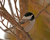 "<div class=""jaDesc""> <h4> Chickadee in Dogwood Tree - February 12, 2010 - Video Attached </h4> <p>  The Chickadees like to perch in our front yard dogwood tree between feeding runs.  So I moved a peanut feeder and sunflower seed feeder to the dogwood for them.</p> </div> </br> <center> <a href=""http://www.youtube.com/watch?v=jBJ2V4p8u7Y"" class=""lightbox""><img src=""http://d577165.u292.s-gohost.net/images/stories/video_thumb.jpg"" alt=""""/></a> </center>"
