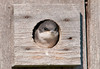 """<div class=""""jaDesc""""> <h4> Tree Swallow Chick in Nest Box - June 17, 2012</h4> <p> We have Tree Swallows nesting in 7 nest boxes spread around our property along the horse pasture fence lines.  This Tree Swallow chick is waiting for his parents to arrive with bugs; he is the last one left in the box.  The adults make a delivery about every 2 minutes.  An hour after I took this photo he left the nest box.</p> </div>"""