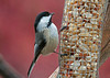 """<div class=""""jaDesc""""> <h4> Chickadee at Nut Feeder - March 13, 2010 - Video Attached </h4> <p> With most of our snow gone and the temperature warming up, the Chickadees are finding more natural food.  But when they visit our feeders, peanuts are still their favorite.</p> </div> </br> <center> <a href=""""http://www.youtube.com/watch?v=e9Y5lUCI4xE"""" class=""""lightbox""""><img src=""""http://d577165.u292.s-gohost.net/images/stories/video_thumb.jpg"""" alt=""""""""/></a> </center>"""