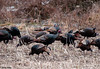 "<div class=""jaDesc""> <h4> Wild Turkey Flock Grazing - January 27, 2010 - Video Attached</h4> <p> I stopped on the opposite side of a country road to watch a flock of over 100 Wild Turkeys grazing in a cornfield.</p> </div> </br> <center> <a href=""http://www.youtube.com/watch?v=1nxDCwlDYtM"" class=""lightbox""><img src=""http://d577165.u292.s-gohost.net/images/stories/video_thumb.jpg"" alt=""""/></a> </center>"