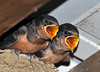 """<div class=""""jaDesc""""> <h4> Hungry Barn Swallow Chicks - August 20, 2010</h4> <p>These 2 Barn Swallow chicks are within a day or two of leaving the nest. They perch up high on the edge of the nest and chirp to their parents for food. They are starting to groom and test their wings. This is the second clutch of 2 chicks this year. </p> </div>"""