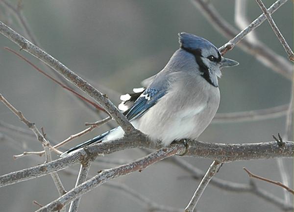"<div class=""jaDesc""> <h4> WINTER - Blue Jay in Frosty Tree </h4> </div>"
