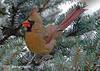 "<div class=""jaDesc""> <h4> Female Cardinal in Blue Spruce Tree</h4> </div>"
