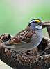 """<div class=""""jaDesc""""> <h4>White-throated Sparrows Arrive - April 15, 2010 </h4> <p>It is always a delight when the White-throated Sparrows arrive.  So far I have seen only one.  They usually stay for about a week before moving on North.  They peacefully feed along with the Juncos and Song Sparrows.</p> </div>"""