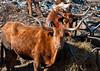 "<div class=""jaDesc""> <h4> Texas Longhorn Cattle - Dining on Hay - January 27, 2013</h4> <p></p> </div>"