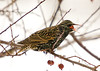 "<div class=""jaDesc""> <h4> Starling Swallowing Crabapple</h4> <p></p> </div>"