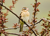 "<div class=""jaDesc""> <h4> Female Rose-breasted Grosbeak in Budding Crabapple Tree</h4> </div>"