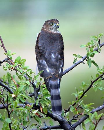 "<div class=""jaDesc""> <h4> Sharp-shinned Hawk in Crabapple Tree</h4> </div>"