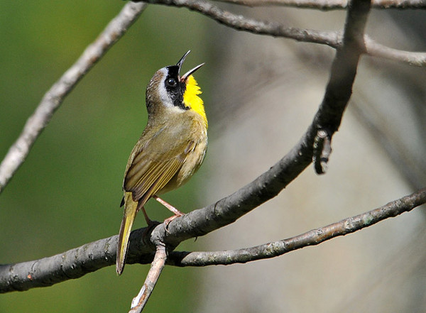 "<div class=""jaDesc""> <h4> Male Common Yellowthroat Singing - May 6, 2010 - Video Attached </h4> <p> This past week lots of Common Yellowthroats have arrived.  They spread out along the edge of the woods and stake out their small patches by singing loudly.</p> </div> <center> <a href=""http://www.youtube.com/watch?v=2j-j2nJKOs0""  style=""color: #0AC216"" class=""lightbox""><strong> Play Video</strong></a>"