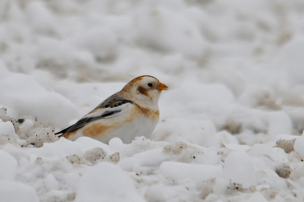 """<div class=""""jaDesc""""> <h4> Snow Bunting Pauses to Munch on Seed - January 1, 2013 </h4> <p>I believe the plowed snow the Snow Buntings were foraging in had lots of grass seeds from the roadside mixed in.</p> </div>"""