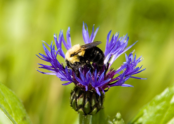 """<div class=""""jaDesc""""> <h4> Bumblebee on Mountain Bluet - May 24, 2008 </h4> <p>  This Bumblebee was very busy on this mountain bluet flower.</p> </div>"""