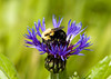 "<div class=""jaDesc""> <h4> Bumblebee on Mountain Bluet - May 24, 2008 </h4> <p>  This Bumblebee was very busy on this mountain bluet flower.</p> </div>"