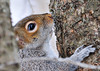 """<div class=""""jaDesc""""> <h4> Gray Squirrel Headed Up Tree - February 7, 2013 </h4> <p> After eating some sunflower seeds at the base of this tree, this Gray Squirrel was headed back up the tree.</p> </div>"""