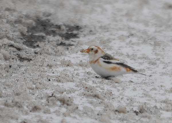 """<div class=""""jaDesc""""> <h4> Snow Bunting with Tasty Morsel - January 1, 2013 </h4> <p>When this Snow Bunting found an interesting looking chunk of snow, he ran away from the other birds to ensure he did not lose it.</p> </div>"""