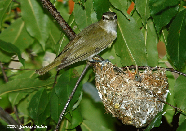 """<div class=""""jaDesc""""> <h4> Red-eyed Vireo Arriving at Nest - July 8, 2006</h4> <p> A neighbor discovered this Red-eyed Vireo nest (hanging pouch) on the branch of a cherry tree in their backyard.  The chicks had already hatched and the parents were making regular feeding runs about every 10 minutes. </p> </div>"""