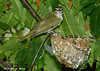"<div class=""jaDesc""> <h4> Red-eyed Vireo Arriving at Nest - July 8, 2006</h4> <p> A neighbor discovered this Red-eyed Vireo nest (hanging pouch) on the branch of a cherry tree in their backyard.  The chicks had already hatched and the parents were making regular feeding runs about every 10 minutes. </p> </div>"