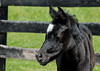 """<div class=""""jaDesc""""> <h4> Black Arabian Filly Close-up - April 16, 2012</h4> <p> This black Arabian Filly is intently watching as her momma enjoys a roll on the other side of the paddock.</p> </div>"""