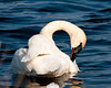 """<div class=""""jaDesc""""> <h4> Trumpeter Swan Grooming - April 5, 2013 - Video Attached</h4> <p> One of the pair of Trumpeter Swans decided to groom while I was photographing them.  The morning sun was at a perfect angle to bring out their beauty.</p> </div> </br> <center> <a href=""""http://www.youtube.com/watch?v=1VbNNgWTpUg"""" class=""""lightbox""""><img src=""""http://d577165.u292.s-gohost.net/images/stories/video_thumb.jpg"""" alt=""""""""/></a> </center>"""