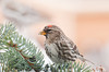 """<div class=""""jaDesc""""> <h4> Immature Female Redpoll Eating Thistle Seed - February 3, 2013 </h4> <p>I toss thistle seed on spruce branches used for Christmas decoration.  This immature female Redpoll was enjoying picking them out from among the needles. She has a smaller lighter red patch on the poll and no rosy red on her breast like the males have.</p> </div>"""