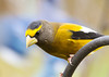 """<div class=""""jaDesc""""> <h4>Male Evening Grosbeak Waiting Turn at Feeder - November 7, 2012 </h4> <p>The Evening Grosbeaks defer to the Blue Jays.  This male was politely waiting his turn to get some sunflower seeds.</p> </div>"""