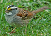 "<div class=""jaDesc""> <h4>White-throated Sparrow on Rainy Morning - April 22, 2006 </h4> <p> This is the first White-throated Sparrow I have noticed this year.  He was ground feeding on a soggy morning.</p> </div>"