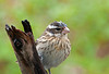 """<div class=""""jaDesc""""> <h4> Rainy Day Female Rose-breasted Grosbeak - May 16, 2011 </h4> <p>This is one of our 6 female Rose-breasted Grosbeaks.  It has been raining constantly, so the top of her head is a bit soggy.</p> </div>"""