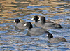 """<div class=""""jaDesc""""> <h4> American Coot Group Paddling - February 20, 2012</h4> <p>This small group of American Coots were part of the beginning of northward migration.  They had stopped over at Stewart Park, Ithaca NY at the southern end of Cayuga Lake.<p> </div>"""