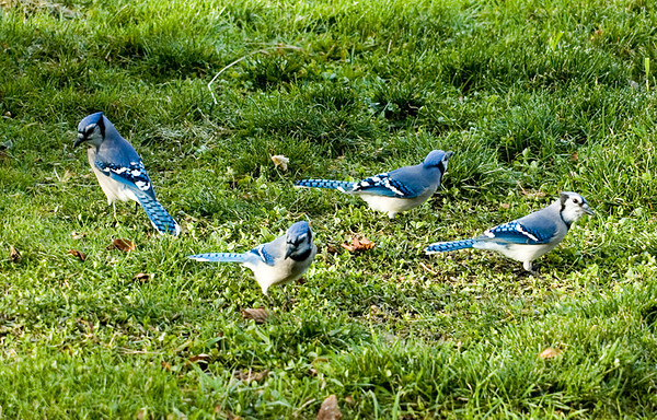 "<div class=""jaDesc""> <h4> Unsuspecting Blue Jays Gathering Seeds </h4> </div>"