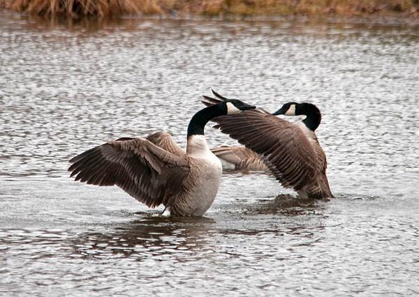 "<div class=""jaDesc""> <h4> Canada Geese Courtship</h4> </div>"