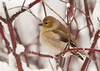 """<div class=""""jaDesc""""> <h4> Goldfinch in Red-twig Dogwood Bush - January 13, 2012</h4> <p>  This female Goldfinch would stay protected in the middle of our red-twig dogwood bush when she was not eating at the thistle seed platform.</p> </div>"""