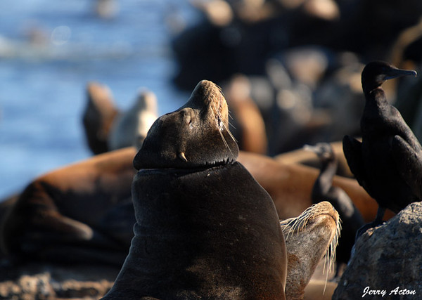 "<div class=""jaDesc""> <h4> Largest Male California Sea Lion - November 3, 2009 - Video Attached</h4> <p>  This was the largest of the male California Sea Lions on the seawall.  He has a scar around his neck from something he got tangled in at some point in time.  Male California Sea Lions can weigh as much as 650 pounds.</p> </div> <center> <a href=""http://www.youtube.com/watch?v=bNKHV7kTQs4""  style=""color: #0000FF"" class=""lightbox""><strong> Play Video</strong></a>"