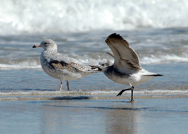 """<div class=""""jaDesc""""> <h4> Laughing Gull Ready for Take-off - October 2005 </h4> <p> The Laughing Gull is getting ready to take off beside the first year Ring-billed Gull.  They point into the wind and are airborne after taking two small steps forward.</p> </div>"""
