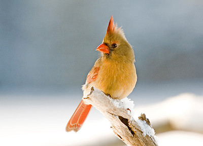 "<div class=""jaDesc""> <h4> Female Cardinal Glowing in Morning Sun</h4> </div>"
