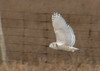 """<div class=""""jaDesc""""> <h4> Female Snowy Owl Flying Over Field - Amherst Island - January 31, 2012</h4> <p> She left her perch post and flew low to the ground until selecting a new perch post.</p> </div>"""