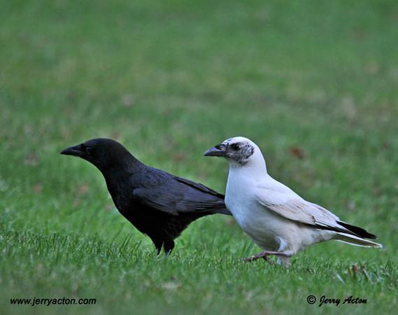 "<div class=""jaDesc""> <h4> Black and White Crows</h4> </div>"