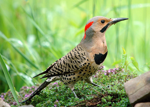 """<div class=""""jaDesc""""> <h4> Male Yellow-shafted Flicker in Creeping Thyme Patch</h4> </div>"""