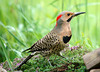 "<div class=""jaDesc""> <h4> Male Yellow-shafted Flicker in Creeping Thyme Patch</h4> </div>"