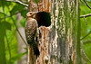 """<div class=""""jaDesc""""> <h4>Female Flicker at Nest Hole - June 7, 2011 </h4> <p>3 years ago, Flickers nested in the top of this tree. That section of the tree blew down in a heavy wind storm 2 years ago. So this year the Flickers excavated another nest below the section that blew down. They like this tree because the wood is very soft and easy to chip away chunks. This is the female arriving at the nest. She was keeping a cautious eye on me.</p> </div>"""