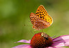 """<div class=""""jaDesc""""> <h4> Great Spangled Fritillary on Coneflower with Bee</h4> </div>"""