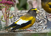 """<div class=""""jaDesc""""> <h4>Male Evening Grosbeaks Dining - November 7, 2012 - Video Attached </h4> <p>A small flock of 14 Evening Grosbeaks stop in randomly to gobble sunflower seeds.  They seem to be roaming around making sure they know where all the food is in the area before winter snows hit.</p> </div> <center> <a href=""""http://www.youtube.com/watch?v=oknTA3cnxEc"""" style=""""color: #0AC216"""" class=""""lightbox""""><strong> Play Video</strong></a> </center>"""