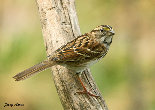 """<div class=""""jaDesc""""> <h4>Immature White-throated Sparrow on Perch - October 22, 2009 </h4> <p>The White-throated Sparrows that showed up a few weeks ago are still hanging around our feeder areas all day long.  They particularly like the white millet seed I throw out on the ground.</p> </div>"""