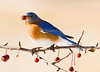 "<div class=""jaDesc""> <h4>FALL - Male Bluebird Enjoying a Crabapple </h4> </div>"