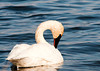 """<div class=""""jaDesc""""> <h4> Trumpeter Swan Grooming #2 - April 5, 2013</h4> <p>  </p> </div>"""