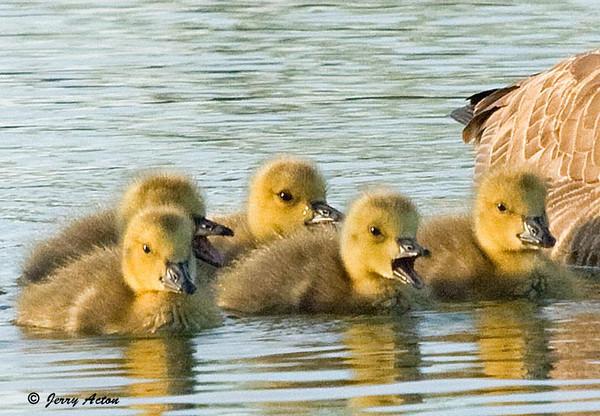 "<div class=""jaDesc""> <h4> Canada Goslings Paddling with Mom</h4> </div>"