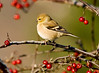 "<div class=""jaDesc""> <h4> Goldfinch in Winter Plumage in Crabapple Tree</h4> <p></p> </div>"