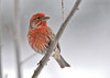 """<div class=""""jaDesc""""> <h4>Male House Finch in Poplar Tree - December 27, 2012 </h4> <p> After a 6 inch snowfall we had 3 male House Finches arrive to tank up on white millet and sunflower seed.  They were all looking very bright for this time of year.</p> </div>"""