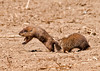 "<div class=""jaDesc""> <h4> Ground Hog - Love Bite - May 3, 2013</h4> <p>It was fun watching their playful antics as the trailing Ground Hog nipped the one in front on the tail sending it leaping into the air.</p> </div>"
