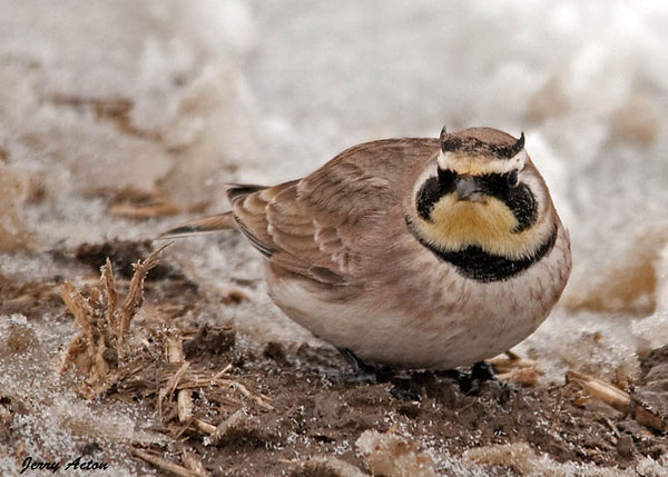 """<div class=""""jaDesc""""> <h4> Male Horned Lark Ground Feeding  - February 24, 2010 - Video Attached </h4> <p>  This is one of 8 Horned Larks that were ground feeding in a snowy cornfield along a country road.  I got a tip from a friend on their location; they were right where he said they would be.  They would take flight when a vehicle would go by, but return to the same area each time.</p> </div> </br> <center> <a href=""""http://www.youtube.com/watch?v=qSluc8hn4us"""" class=""""lightbox""""><img src=""""http://d577165.u292.s-gohost.net/images/stories/video_thumb.jpg"""" alt=""""""""/></a> </center>"""