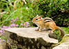 "<div class=""jaDesc""> <h4> Chipmunk Ready to Play</h4> </div>"